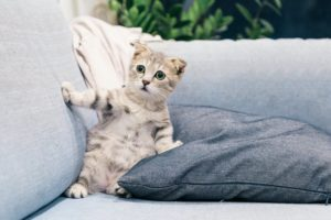 photo of gray and white tabby kitten sitting on sofa